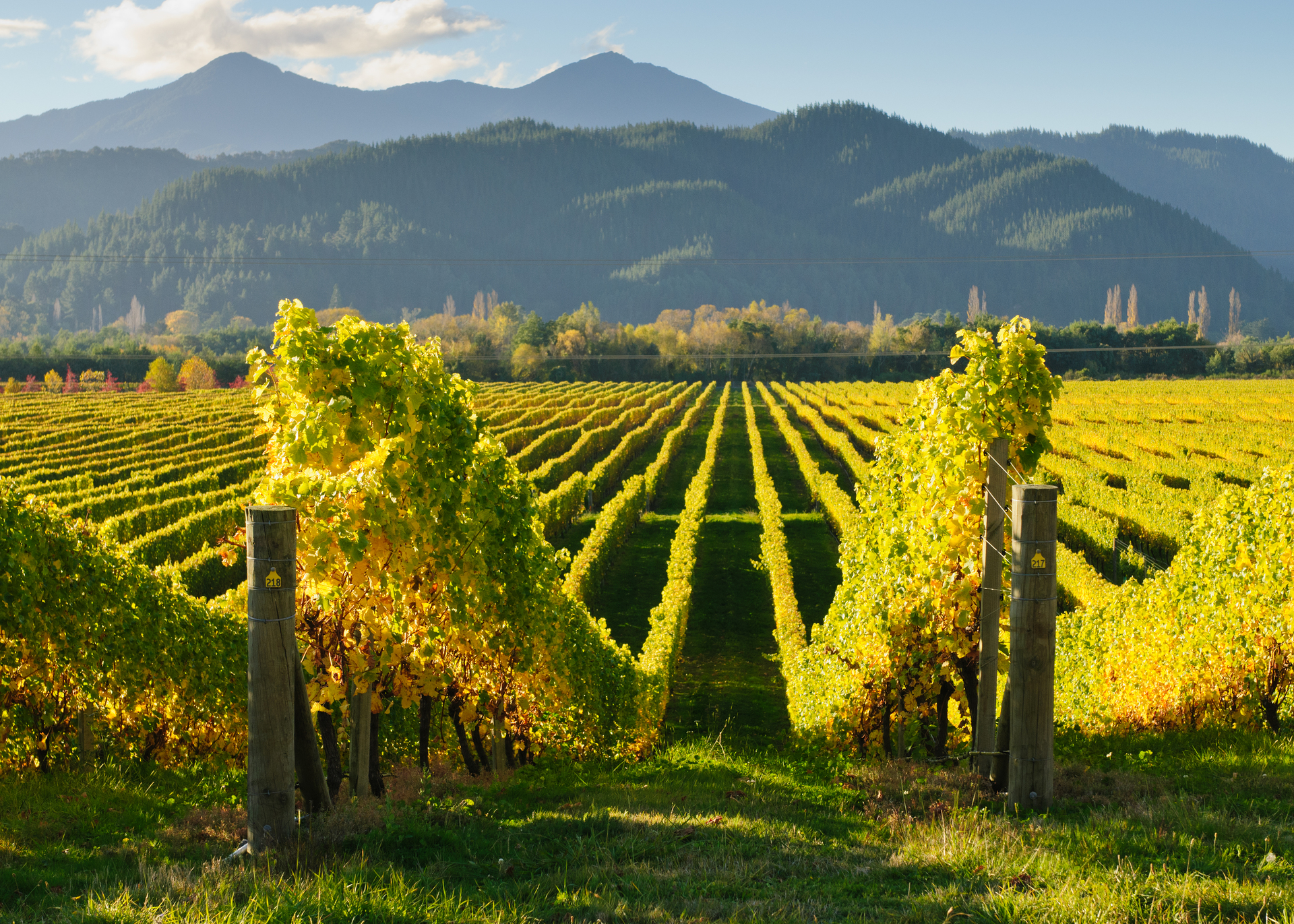 marlborough vineyards Largeversion.jpg
